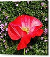 Poppy On Thyme  Acrylic Print