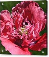 Poppy Pink Acrylic Print