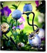 Poppy Pods And Curvy Stems. Acrylic Print