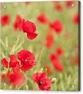 Poppy Red Acrylic Print