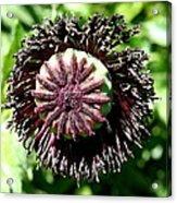 Poppy Seed Capsule Acrylic Print