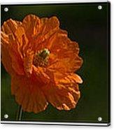 Poppy Triptych Acrylic Print