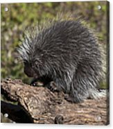 Porcupine Looking For Food Acrylic Print