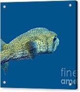 Porcupine Pufferfish Acrylic Print