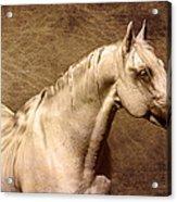 Portait Of A Stallion Acrylic Print