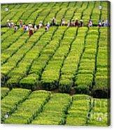 Porto Formoso Tea Gardens Acrylic Print