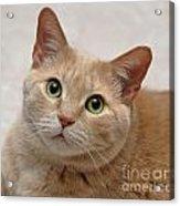 Portrait - Orange Tabby Cat Acrylic Print