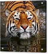 Portrait Of A Bathing Siberian Tiger Acrylic Print