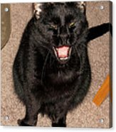 Portrait Of A Black Shorthair Cat With Open Mouth Acrylic Print
