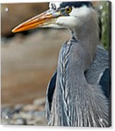 Portrait Of A Blue Heron Acrylic Print