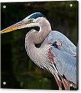 Portrait Of A Blue Heron Acrylic Print