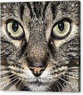 Portrait Of A Cat Acrylic Print
