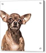 Portrait Of A Chocolate Chihuahua - The Acrylic Print