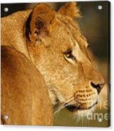 Portrait Of A Dreamy Lioness  Acrylic Print