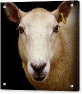 Portrait Of A Ewe Acrylic Print