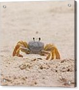 Portrait Of A Ghost Crab Acrylic Print