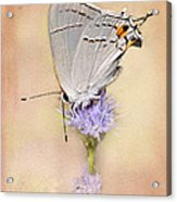 Portrait Of A Gray Hairstreak Acrylic Print