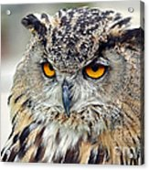 Portrait Of A Great Horned Owl II Acrylic Print