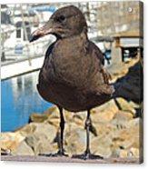 Portrait Of A Grumpy Gull Acrylic Print by Brian D Meredith