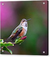 Portrait Of A Hummer 2 Acrylic Print