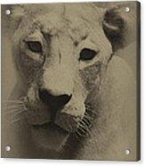 Portrait Of A Lioness Acrylic Print