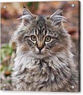 Portrait Of A Maine Coon Kitten Acrylic Print