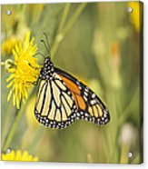 Portrait Of A Monarch Acrylic Print