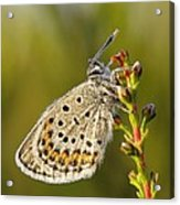 Portrait Of A Morning Dew Butterfly Acrylic Print
