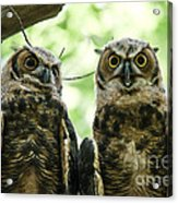 Portrait Of A Pair Of Owls Acrylic Print