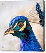 Portrait Of A Peacock Acrylic Print