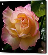 Portrait Of A Rose Acrylic Print by Rona Black
