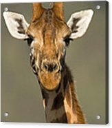 Portrait Of A Rothchilds Giraffe Acrylic Print