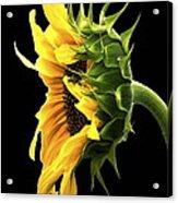 Portrait Of A Sunflower Acrylic Print