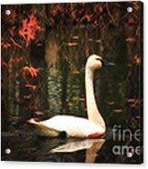 Portrait Of A Swan Acrylic Print