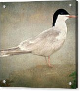 Portrait Of A Tern Acrylic Print