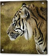 Portrait Of A Tiger  Acrylic Print