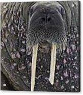 Portrait Of A Walrus Acrylic Print