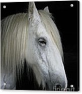 Portrait Of A White Horse Acrylic Print