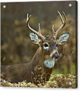 Portrait Of A White Tailed Buck Acrylic Print