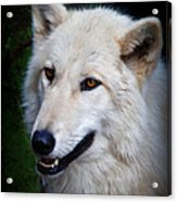 Portrait Of A White Wolf Acrylic Print