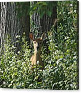 Portrait Of A Whitetail Fawn II Acrylic Print