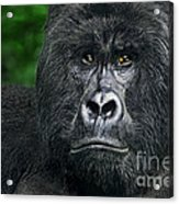 Portrait Of A Wild Mountain Gorilla Silverbackhighly Endangered Acrylic Print