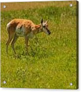 Portrait Of A Young Pronghorn Acrylic Print