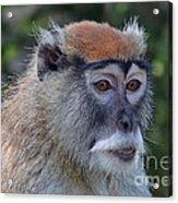 Portrait Of An Adult Patas Monkey II Acrylic Print