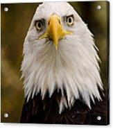 Portrait Of An Eagle Acrylic Print