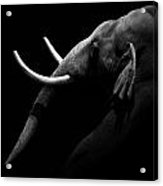Portrait Of Elephant In Black And White Acrylic Print
