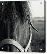 Portrait Of Horse In Black And White Acrylic Print