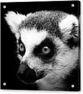 Portrait Of Lemur In Black And White Acrylic Print
