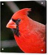 Portrait Of Male Cardinal Acrylic Print