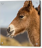 Portrait Of Newborn Foal Acrylic Print